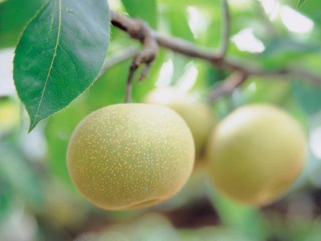 三平果樹園
