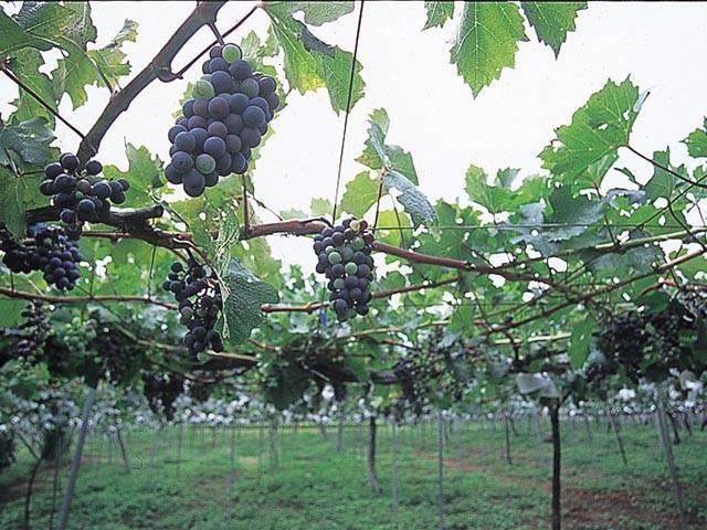 シャルマンワイン山梨ワイナリー