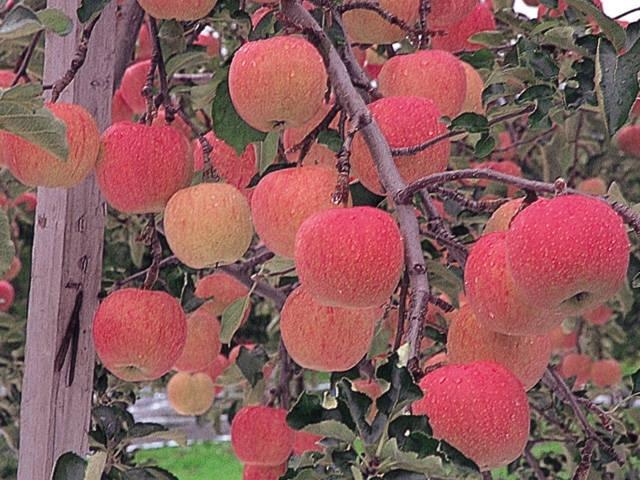 青森りんごの里