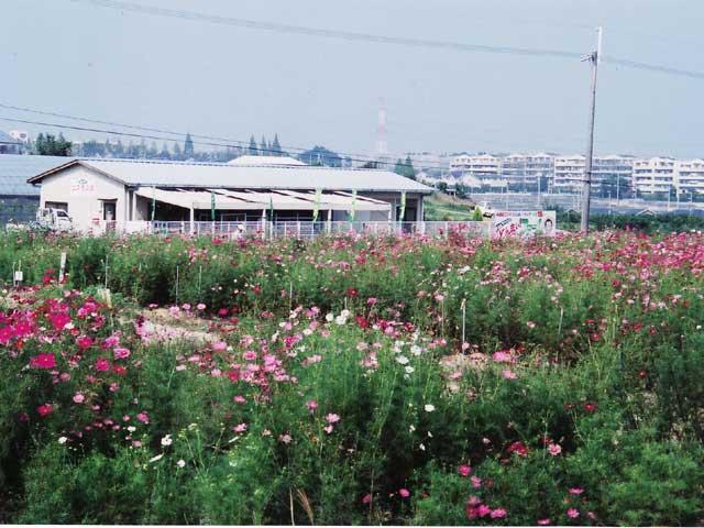 鉢ヶ峯 営農組合フラワー農園 コスモス館