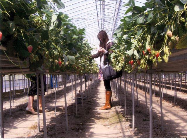 福永農産 ぶらんこ苺園