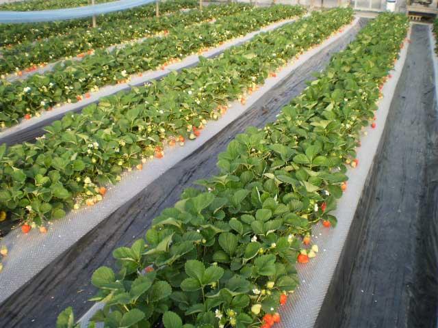 「あまおう」の苺狩り農園ホワイトベリー