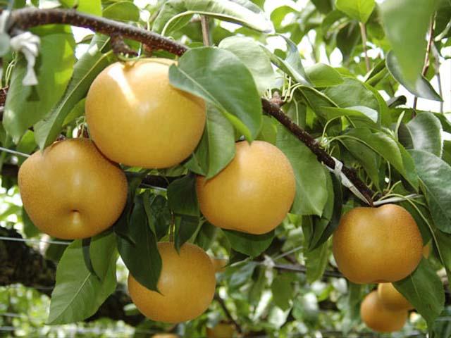 梨狩り産直の佐々木農園
