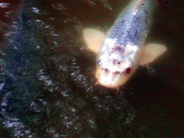 善寳寺の人面魚