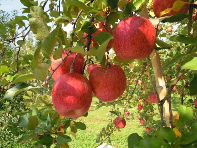 木沢りんご園